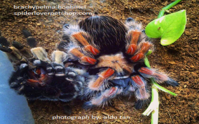 caresheet brachypelma