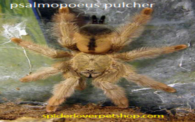 psalmopoeus pulcher sling - preorder