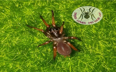 damarchus sp. (spider)