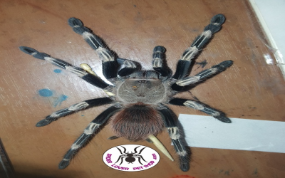 Nhandu chromatus female tarantula