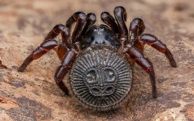 Cyclocosmia ricketti spider (trap door spider)