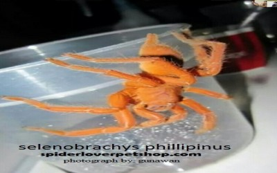 ORANGE PHILLIPINUS TARANTULA sling (SELENOBRACHYS / ORPHNAECUS PHILLIPINUS)