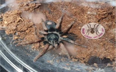 kochiana brunnipes female tarantula