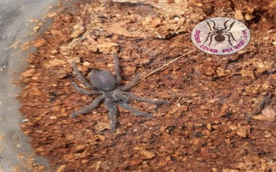 Chilobrachys Electric Blue Tarantula