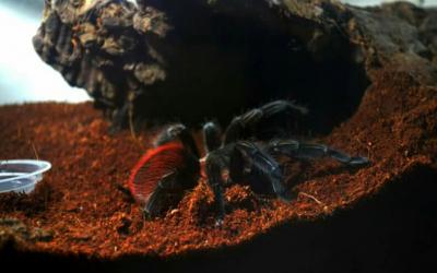 vagans unsex 1 cm tarantula
