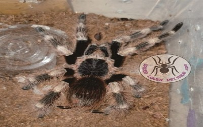 Nhandu coloratovillosus mature male tarantula
