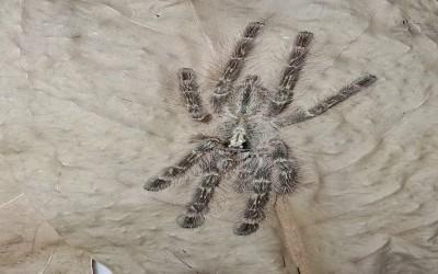 Poecilotheria Rufilata sling Tarantula (sudah ready)