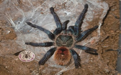 Chromatopelma Cyaneopubescens / GBB /GREEN BOTTLE BLUE 7-8 cm male tarantula